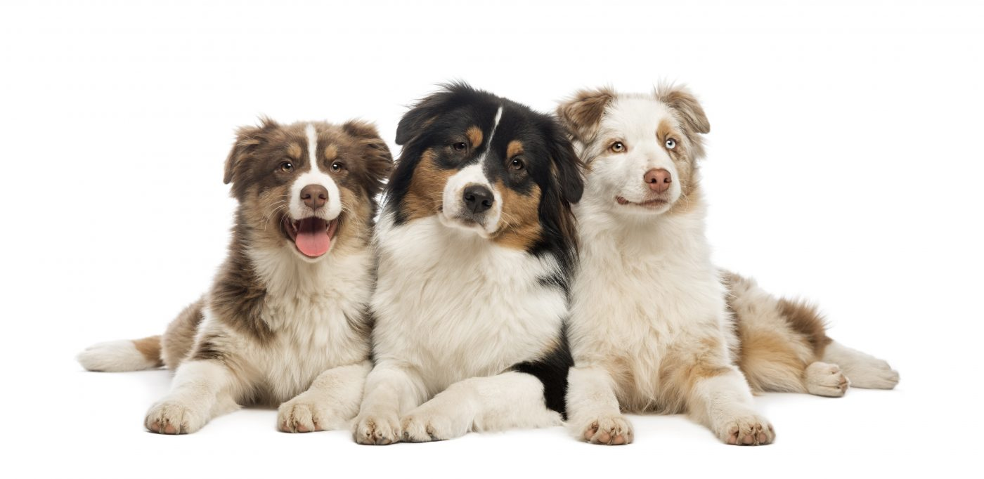Group of Australian Shepherd lying and looking, isolated