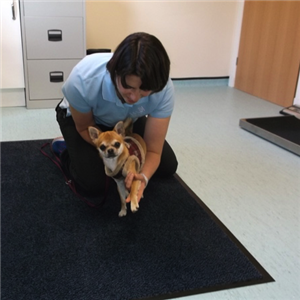 Our physiotherapist Kim Gunstone providing treatment to a dog.