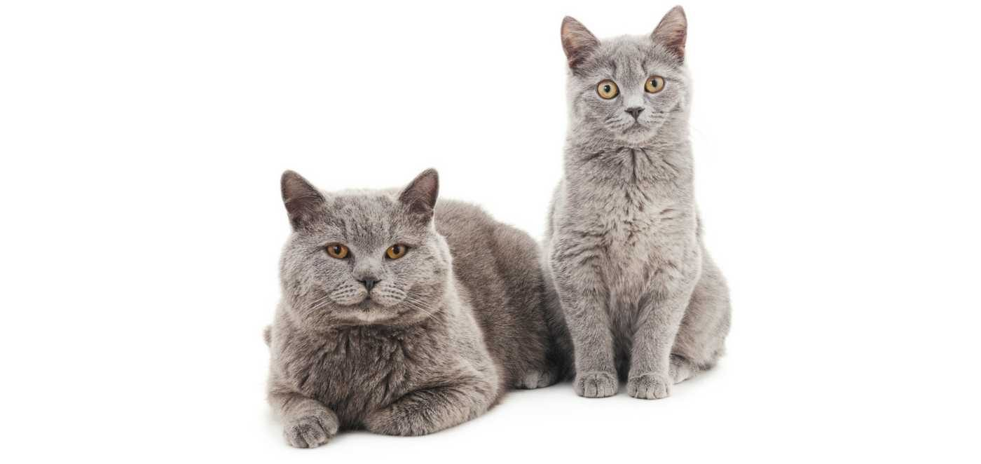 Tay Valley Vets Cat Adult care plan graphic. Two grey cats on a white background