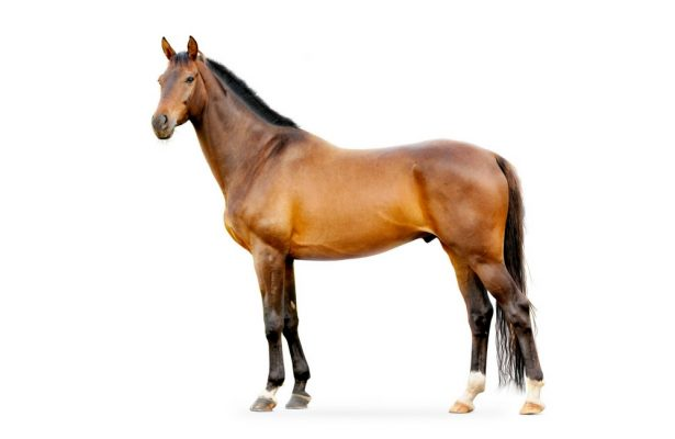 Tay Valley Vets Equine Acupuncture service image. Brown horse on a white background