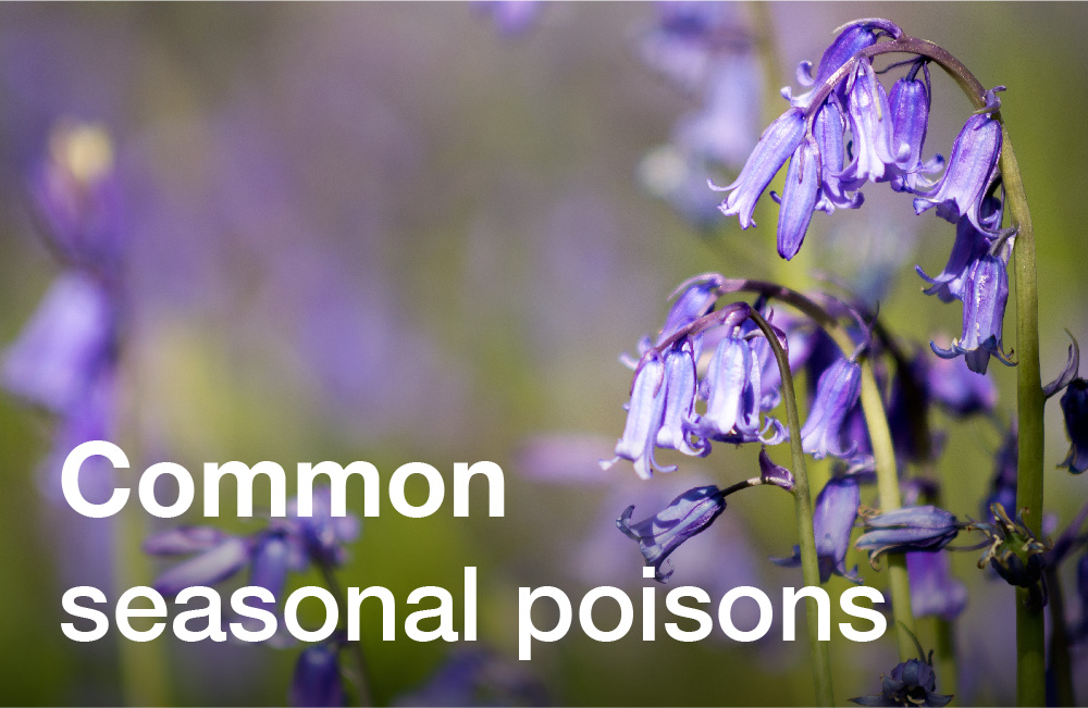 Tay Valley Vets Common Seasonal Poisons graphic panel. Purple flowers