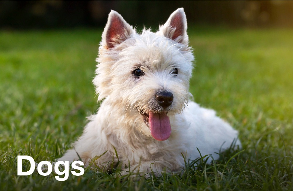 Tay Valley Vets dogs graphic panel. A white West Highland Terrier puppy laying on the grass